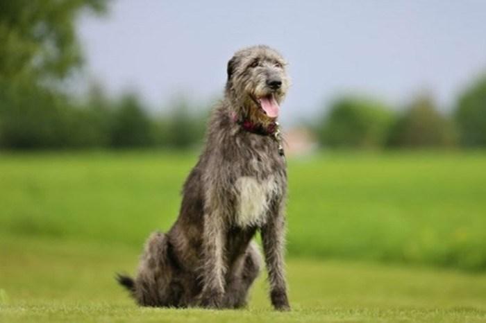 Волкодавы: 5 опасных собак, которые способны расправиться с волком