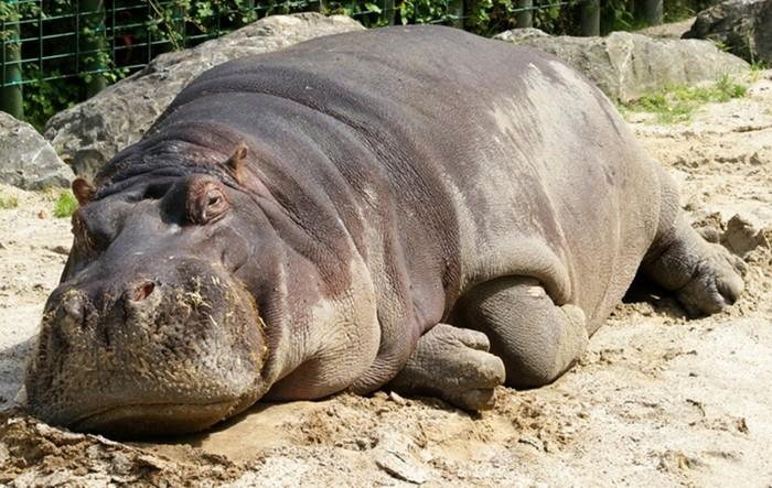 Чем отличается гиппопотам от бегемота, на самом деле?