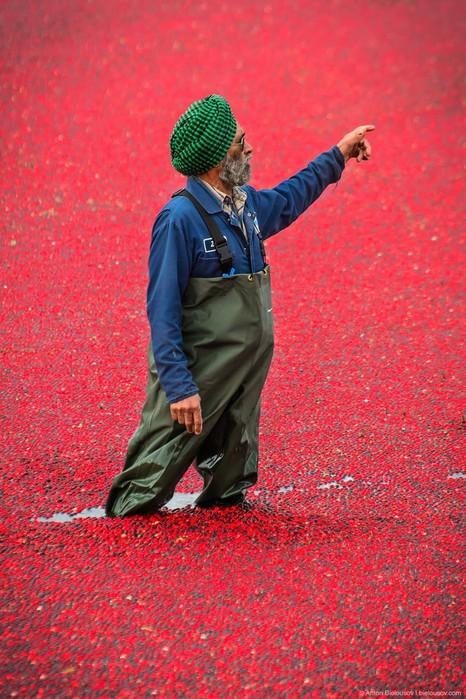 Сбор урожая клюквы в Ричмонде, Канада. Не всё так просто, как может показаться!