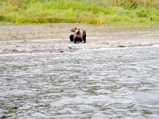Как медведица прощается с медвежатами перед их вступлением во взрослую жизнь
