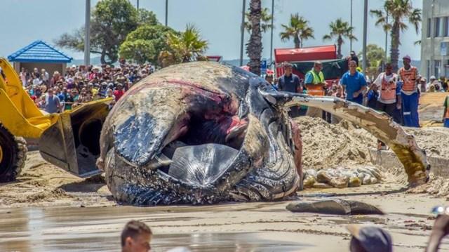 Выжило всего пять китов из 19, выброшенных на пляж Кейптауна
