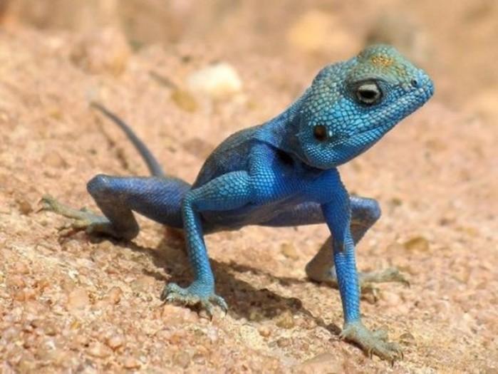 Самые красивые ящерицы— Фотографии ярких созданий