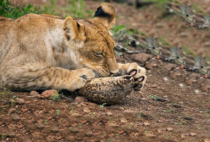 Лев и черепаха: смертельная игра или обед хищника?
