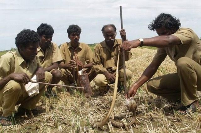 Как ловцы змей из племени ирула занимаются своим опасным промыслом