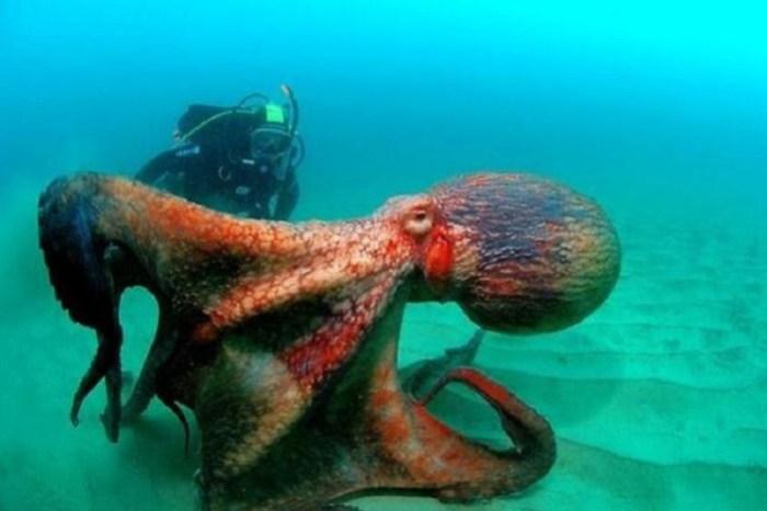 Разъяренный осьминог напугал надоедливую дайвершу стремительной атакой (видео)