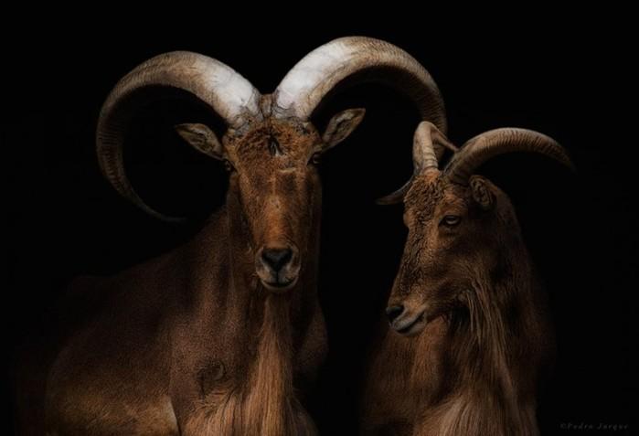 Портреты диких животных Педро Хорке (Pedro Jarque)