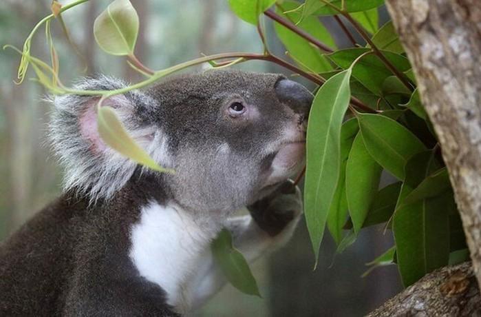Мокрый коала приобретает немного демонический вид