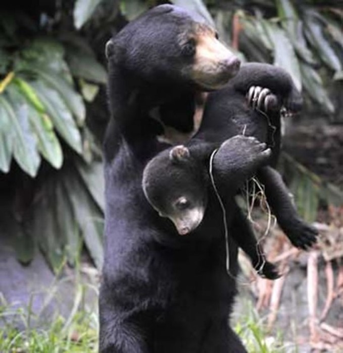 Разные медведи нашей планеты: бирунг, губач и кермод