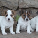 Jack Russell Terrier Puppies For Sale Cuttin Up Jack Russell