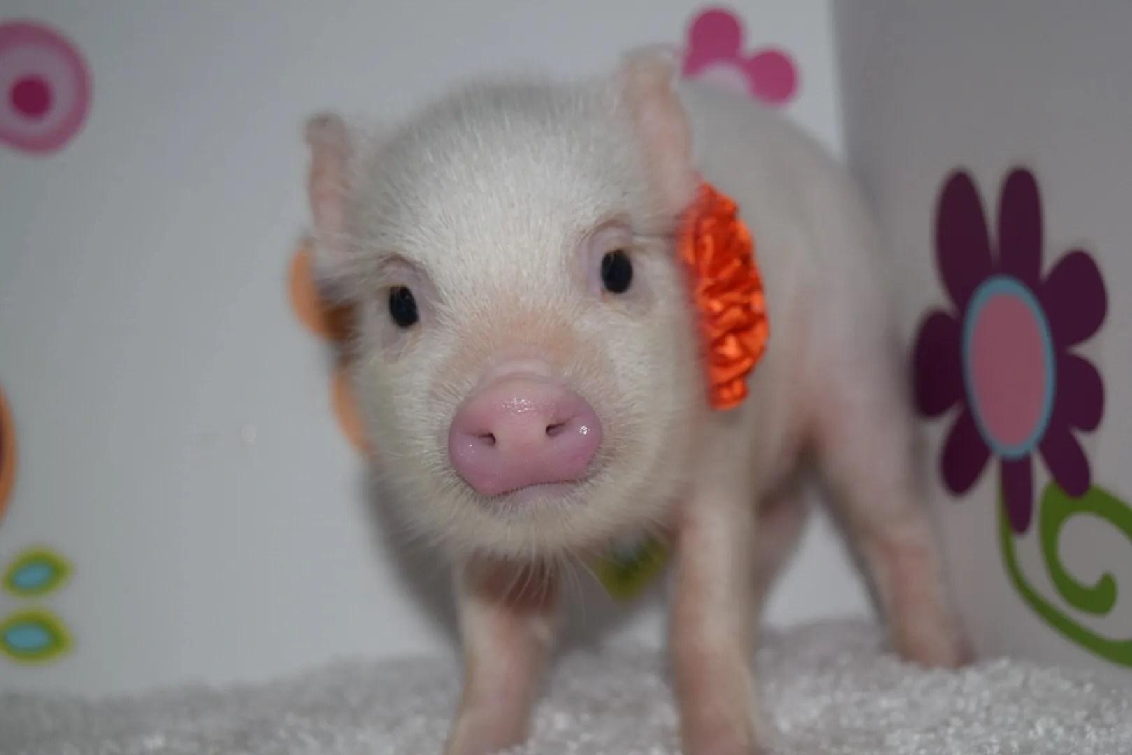 Ny Teacup Piggies Teacup Pigs Breeder Micro Mini Pigs