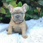 Childs Bulldogs Bulldogs Puppies