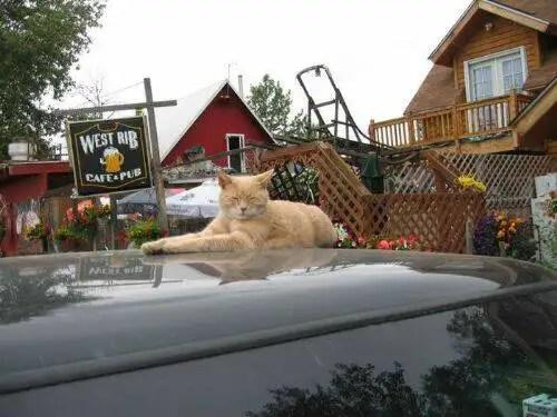 alcaldegato11 - El alcalde de un pueblo de Alaska es un gato (un gato de verdad)
