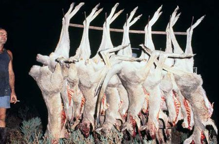 Canguros asesinados por Adidas para el deporte