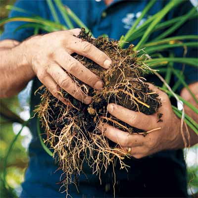 How to Divide Overgrown Perennials when dividing and pruning plants