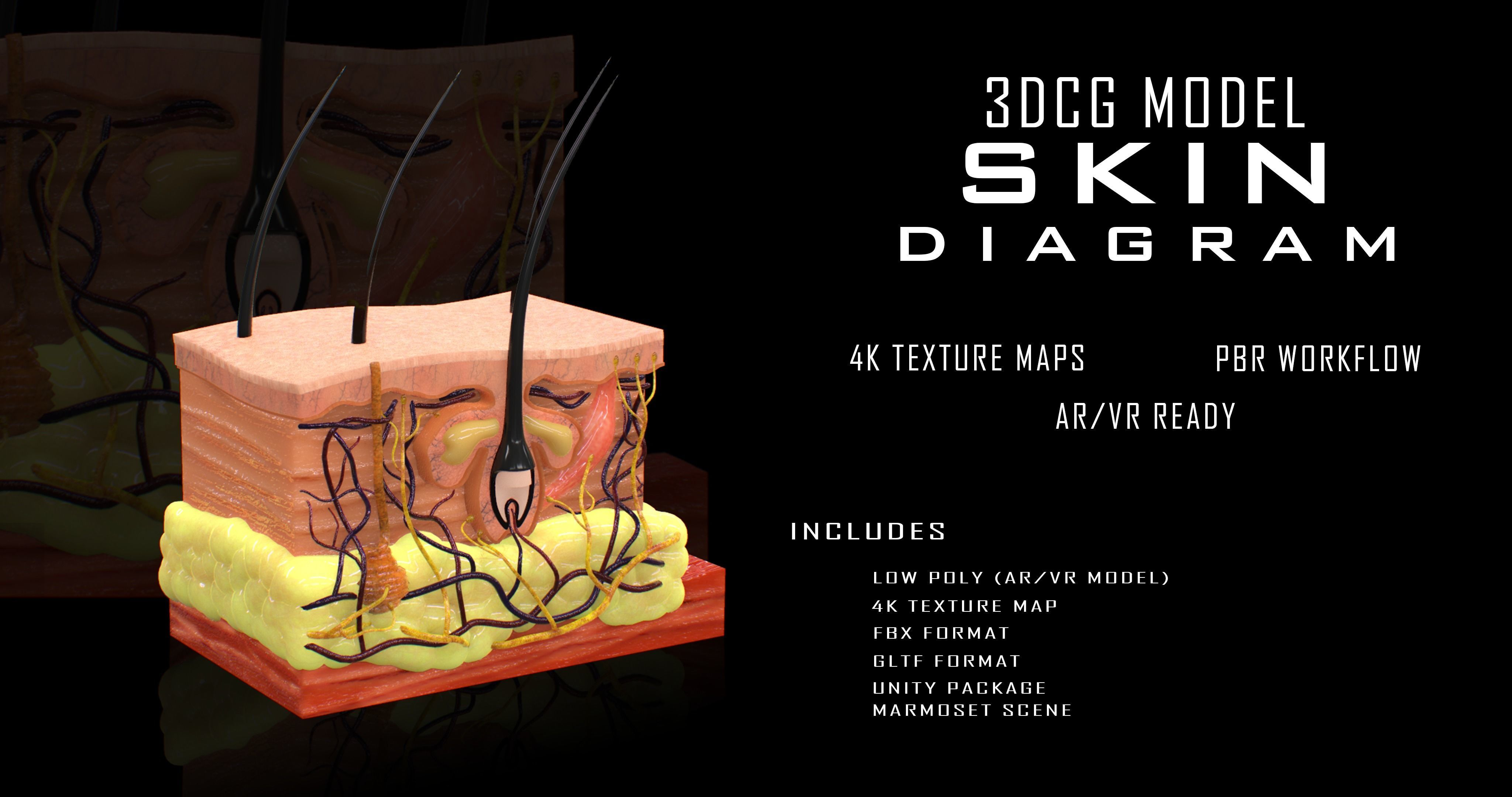 3d Model Skin Cross Section Vr Ar Low Poly