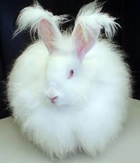Adopt a Angora bunny for an 3 months,and receive a 1/2 oz of fiber per month - wildwoolfarm