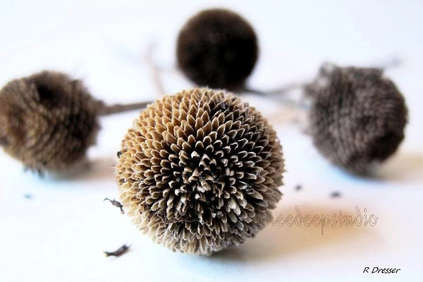 Nature Portrait Photograph of Seed Pods Closeup Earthy Brown Seeds on White Wall Decor Modern Home Cottage - KneeDeepOriginals