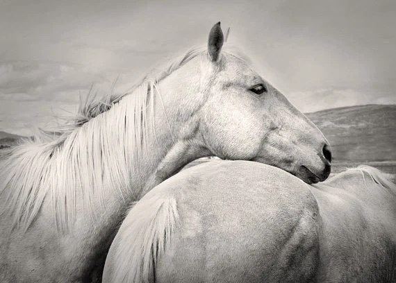 Black and White Horse Photograph, HUGS, equine art, 8x10