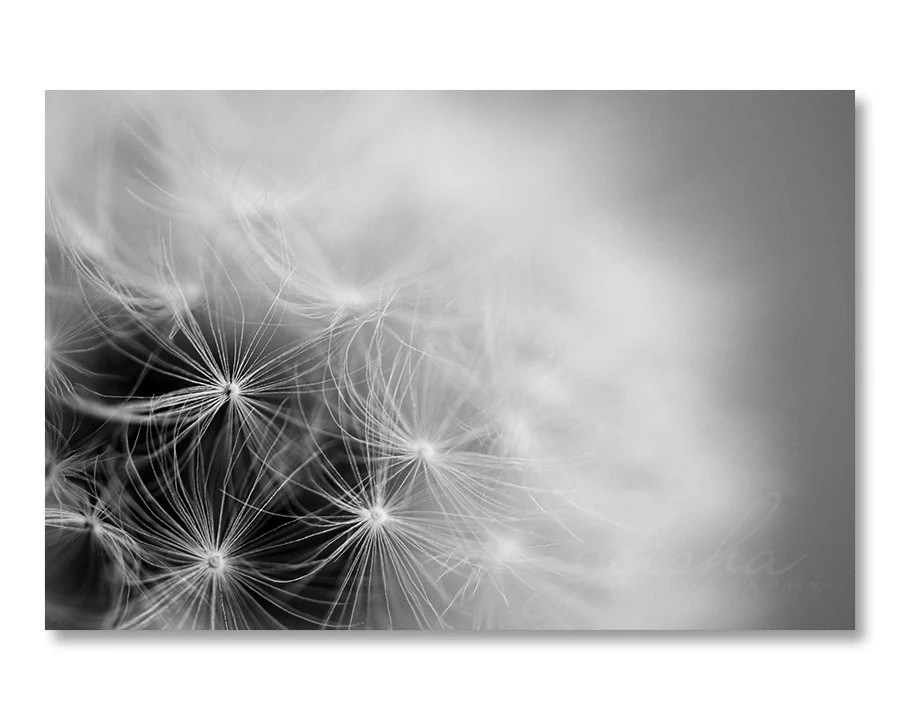 black and white dandelion photograph fine art photography home decor wall art minimalist photo simple nature - geishaphotography