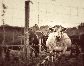 White cow photograph. Farm pasture dreamy vintage rustic sepia tone. Brown, white, cream, beige 8x8 art print. - RiskLoveFreedom