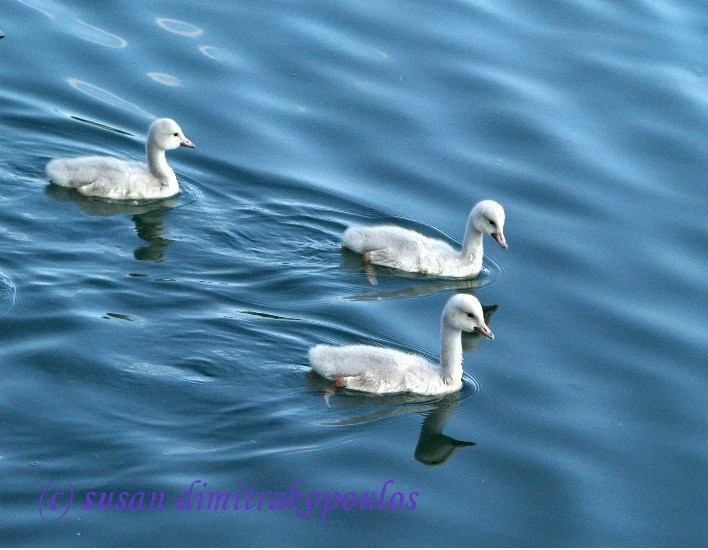 Time for Adventure - swans, water babies, photograph, card, 5 x 7, blank, angels, signet, nursery decor, baby, blue, white, baby shower