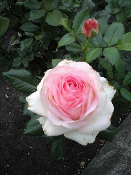 White Rose Crimson Plant Manufacturer In Hojai Assam India By Nazmin Nursery Id 4947009