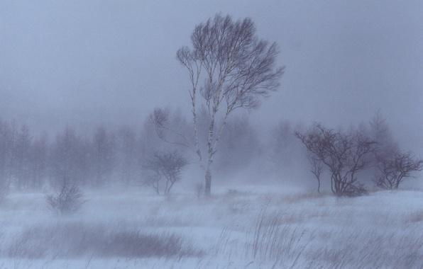Обои береза, деревья, Снег, Зима картинки на рабочий стол ...