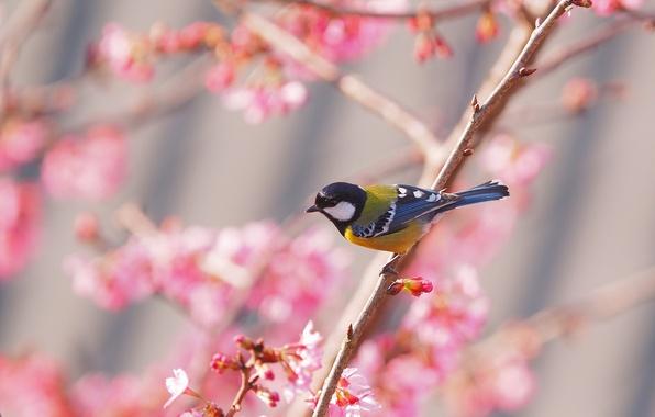Обои птица, весна, сакура, синица картинки на рабочий стол ...