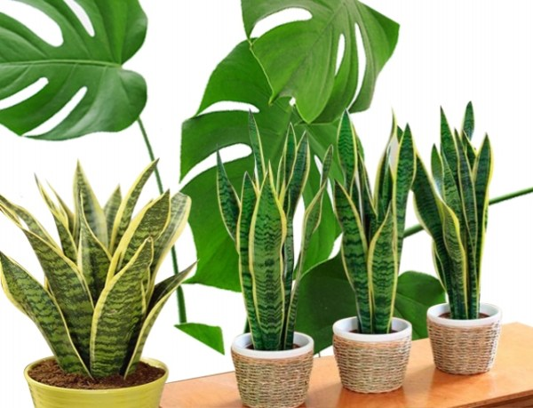 Комнатные растения 2018: как выбрать цветы для комнаты под ...