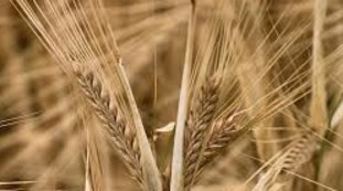 Cereals and vegetable fibers, the decisive role of the intestine: coronavirus, what we didn't know