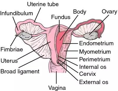 """fundus uteri"" ile ilgili görsel sonucu"