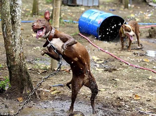 64736979 - 300 pitbulls fueron rescatados de perreras secretas donde eran entrenados para peleas ilegales