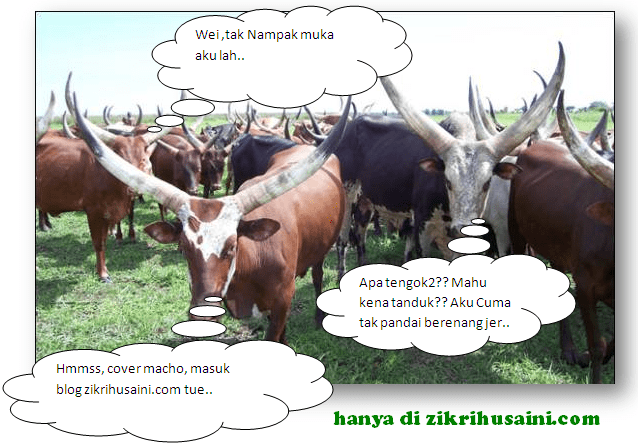 cattle cow, cow picture, cattle horn large, lembu tanduk panjang, lembu pelik,