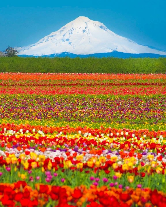 Tulip Field - photograph white mountain field of spring flowers farm Oregon feminine colorful - Tulips Below the Volcano