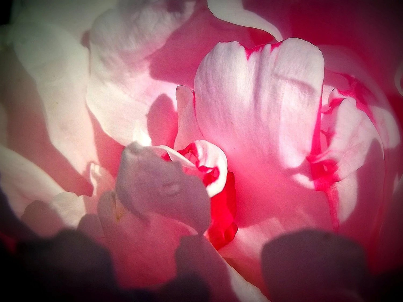 Pink Peony Photo Art 8 x 10, Vivid Flower Closeup - LeesWhimsy