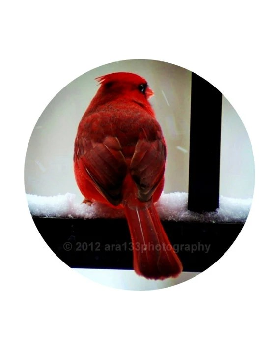"25% OFF SALE Christmas Decoration Red Cardinal Photograph, Holiday Photography - 8x10 inch Print - ""Watcher in the Snow"" - ara133photography"