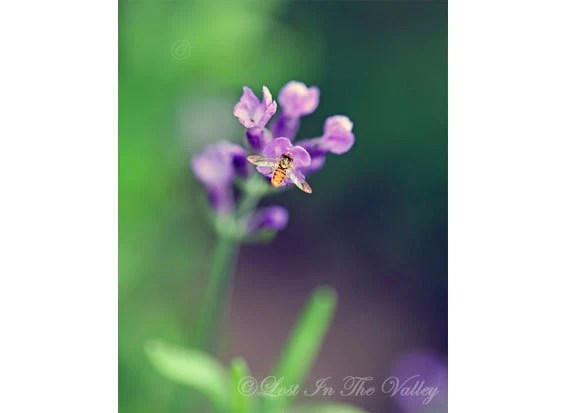Lavender Photo, Floral Photograph, Nature Photography, Bee, Flower, Purple, Emerald Green, Macro, Fine Art Print, Wall Decor, Summer - LostInTheValleyPhoto