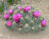 Fushia Pink Cactus Mound Find Art Photography