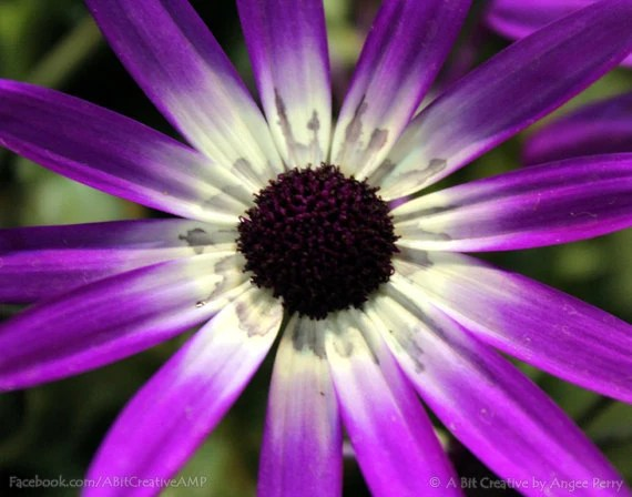 "Garden Photography - fine art plant flower nature - 11x14 Photograph ""Dark Purple Osteospermum Up Close"" - ABitCreativeAMP"