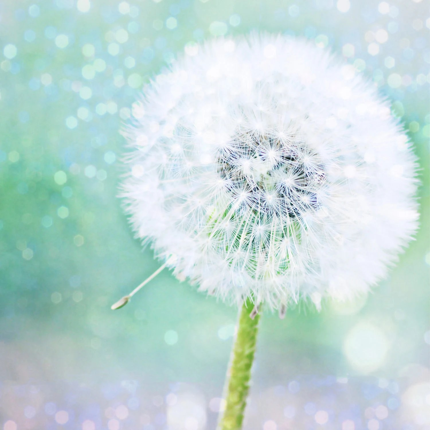 Nature Photography, ,aqua, white, Dandelion Dreams, nature fine art photography print 8x8 - moonlightphotography