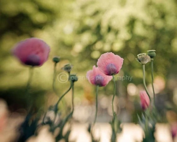 """The Field- soft image of field of poppy flowers, in bright and happy spring colors, 8x10"""" (20x25cm)"""