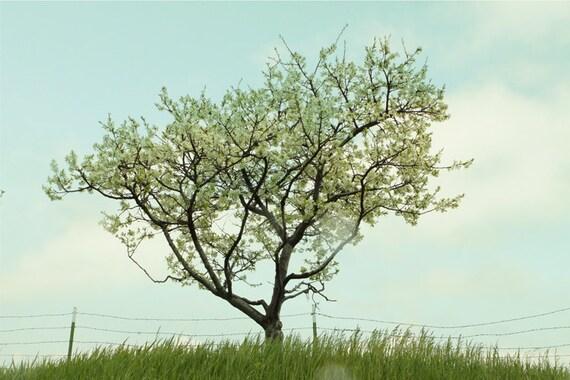Ancient Apple Tree  8x 12 Fine Art Photograph