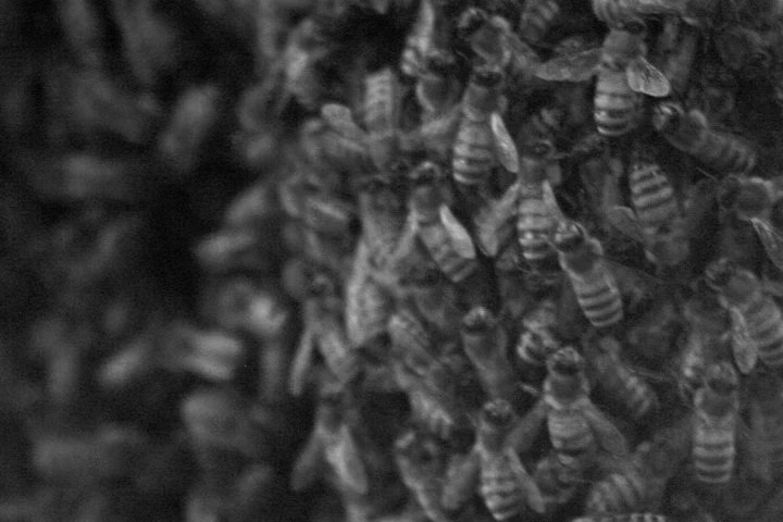 Bees in Black and White 4x6 Print