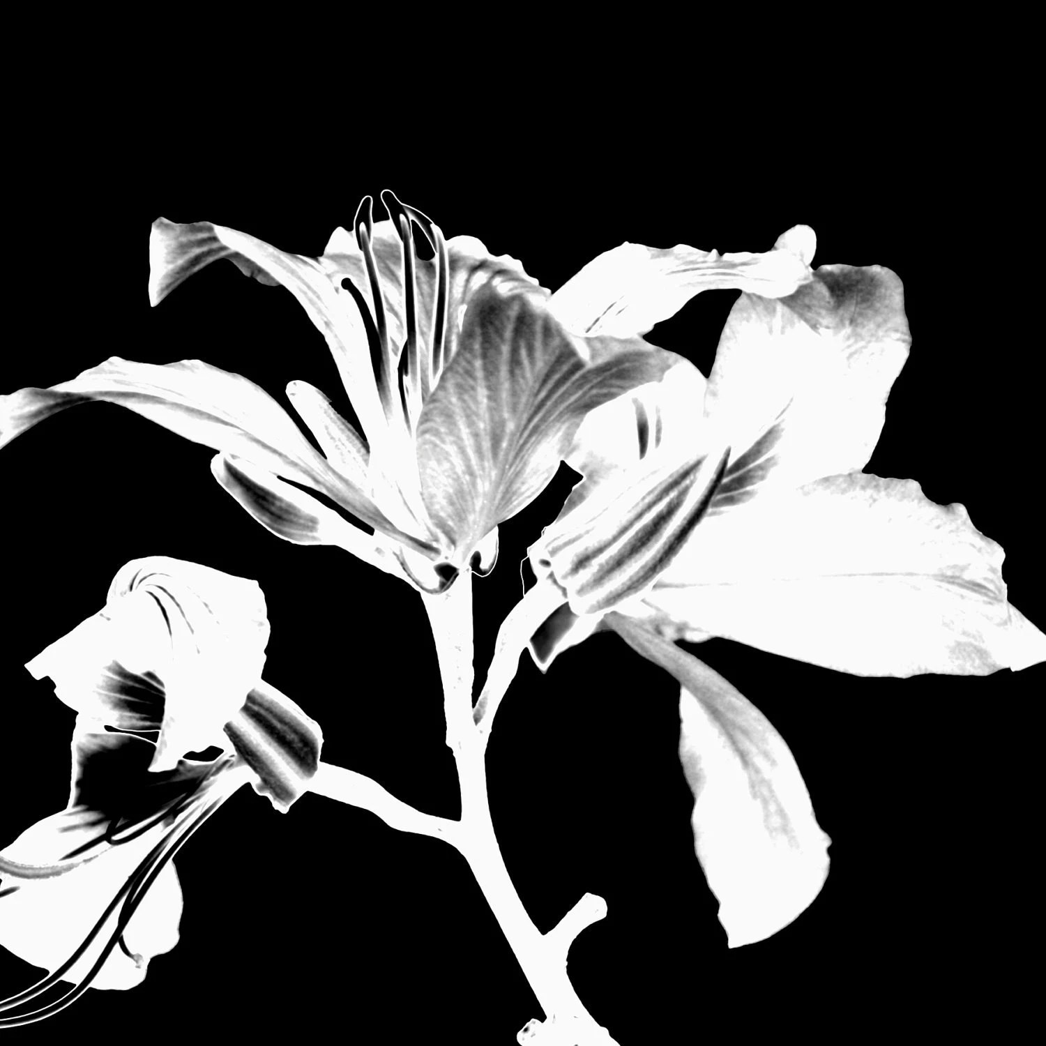 Digital Flower - Mexico - 8x8, 8x12 Fine Art Digitally Manipulated Photograph Black and White or Sepia (looks great square) -