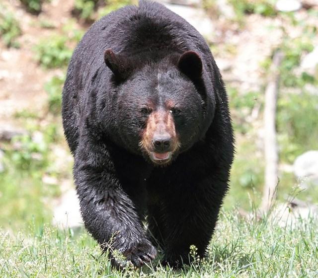 미국 흑곰