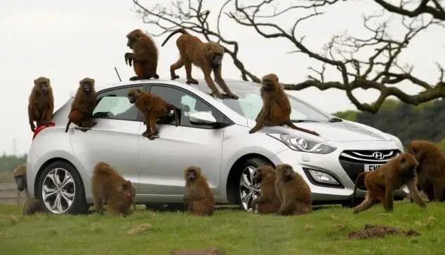 13822773 - 40 monos se enfrentan al reto de probar un coche nuevo