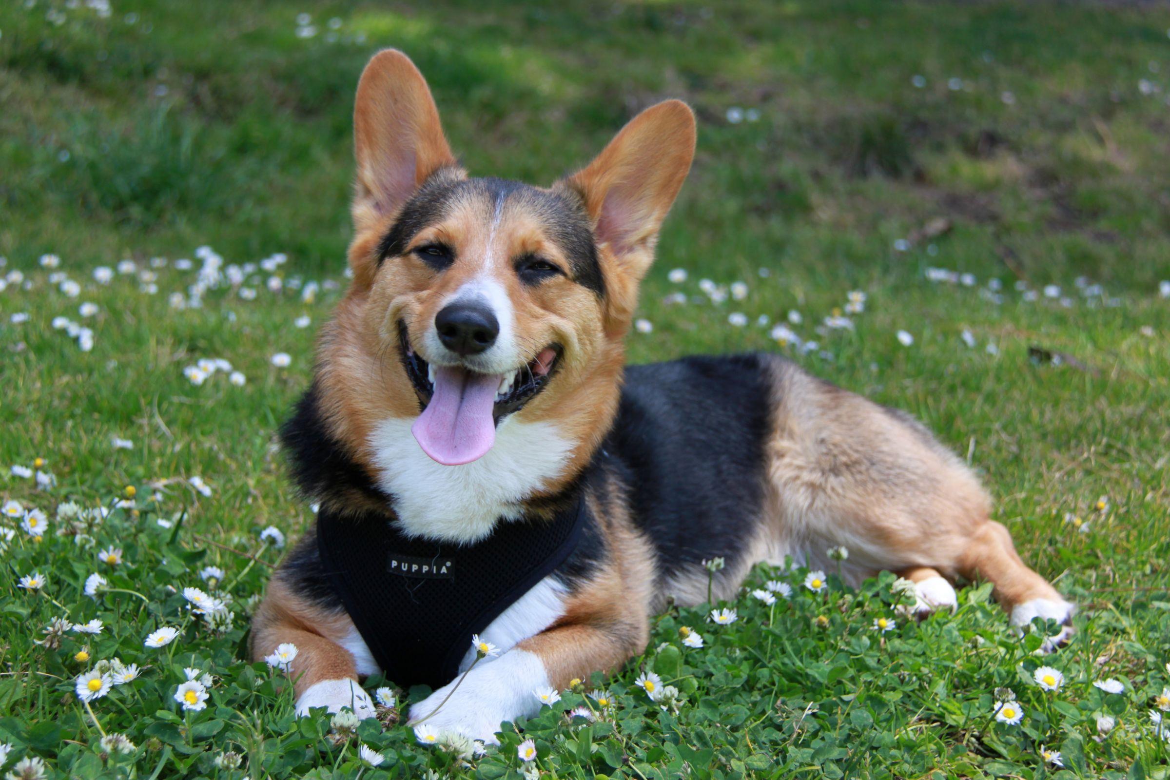 Pembroke Welsh Corgi Information Dog Breeds At Dogthelove