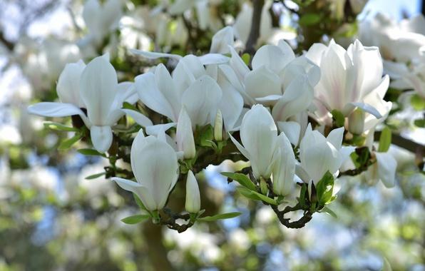 Обои весна белая магнолия картинки на рабочий стол
