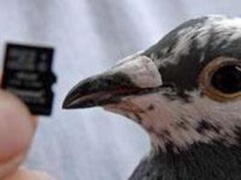 Güvercin internetten hızlı çıktı