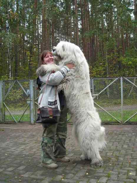 alex20snow20rose, anjing german, german stepard, anjing besar, big dog, anjing terbesar didunia